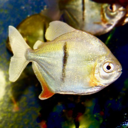 Myleus schomburgkii 5-6 cm