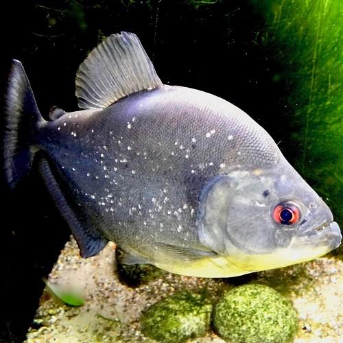 Serrasalmus rhombeus   Zwarte piranha M