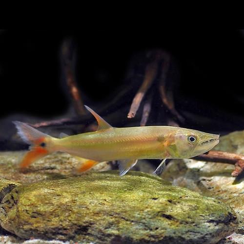 Acestrorhynchus falcirostris 10 cm