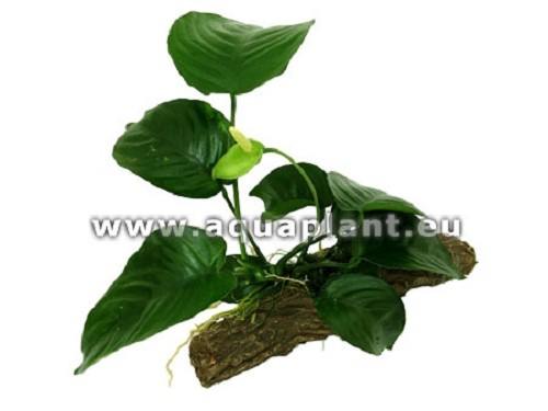Anubias on stone wood S (K)