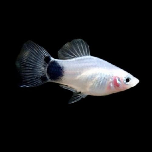 Xiph.maculatus   Platy zwart/wit M
