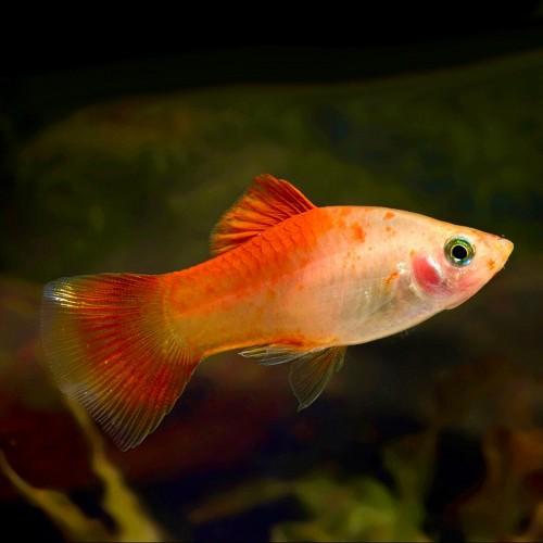 Xiph.maculutus   Platy red top M