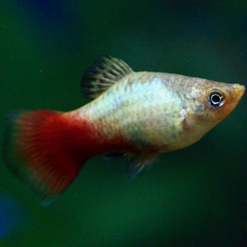 Xiph.maculatus   Platy rainbow M