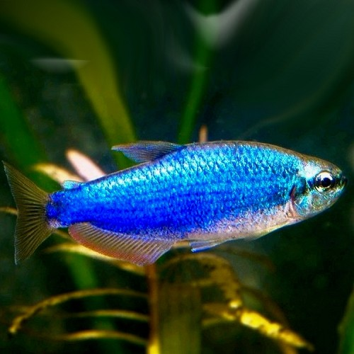 Inpaichthys kerry sp. super blue M