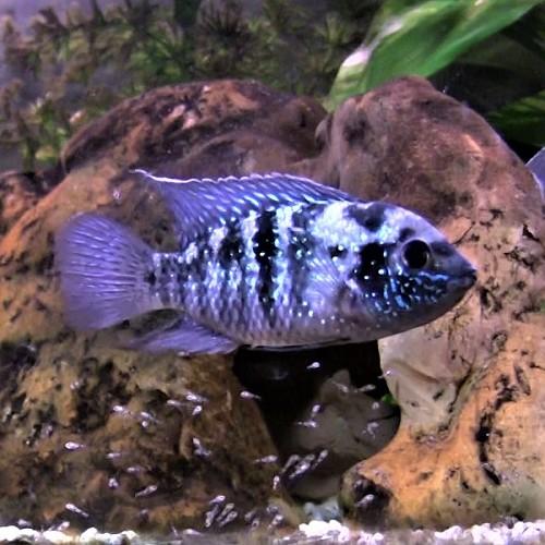 Aequidens pulcher   Blauwe acara 4-5 cm