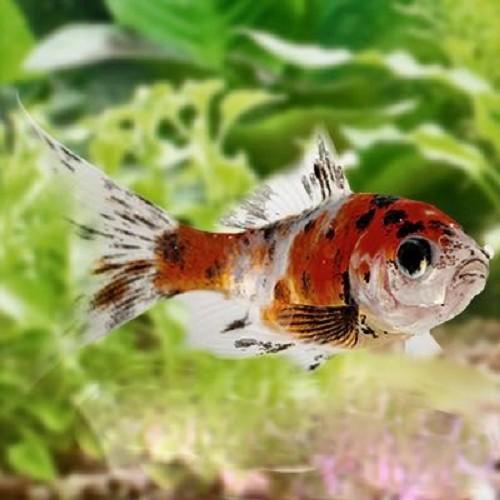 Teichfische jarathana for Teichfische shubunkin