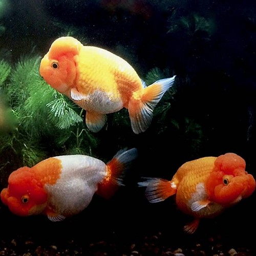 Or.ranchu mix 6-7 cm  zonder rugvin