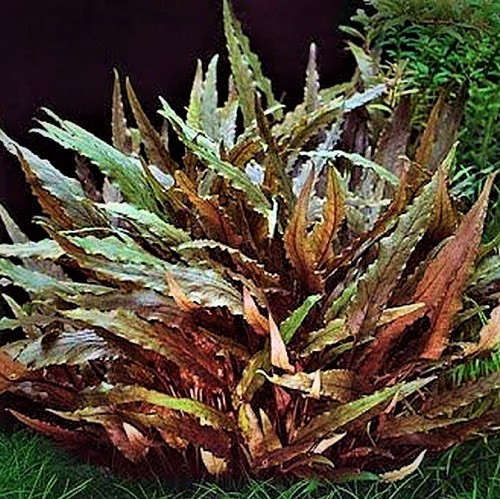 Cryptocoryne wendtii brown in pot @