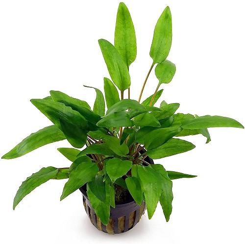 Cryptocoryne wendtii green pot @