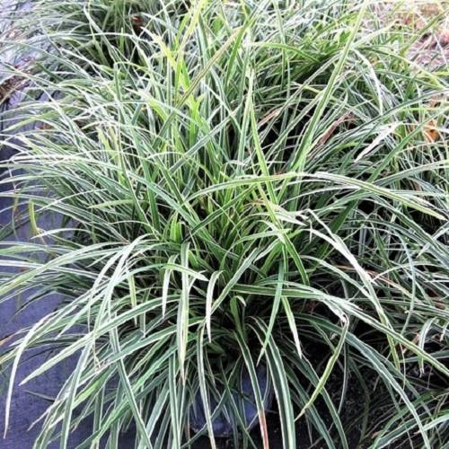 Ophiopogon japonica variegatus pot