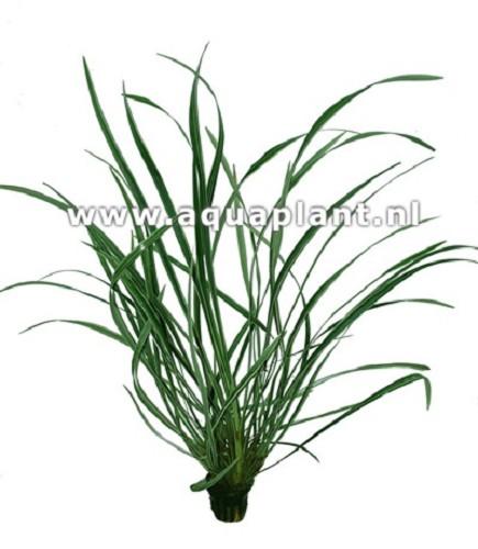 Ophiopogon jaburan var. pot (E-4023)
