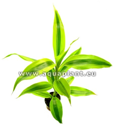 Dracaena sanderiana yellow-green pot(D)
