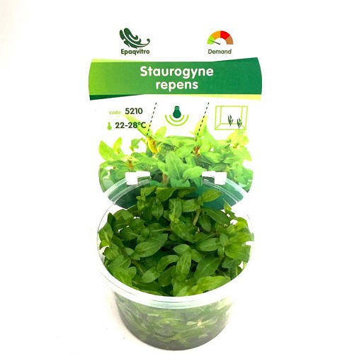 Staurogyna repens in cup