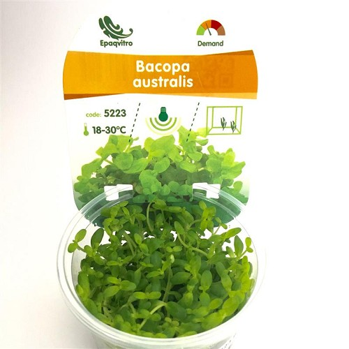 Bacopa australis in cup