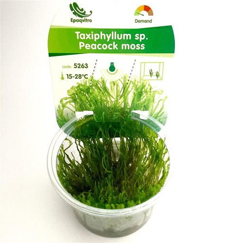 Peacock moss in cup