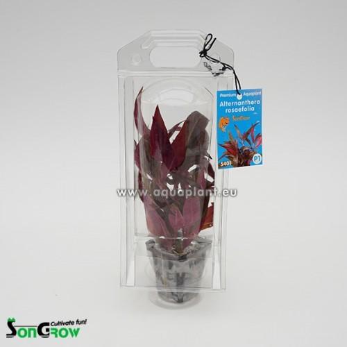 Aquaplant Alternanthera rosaefolia