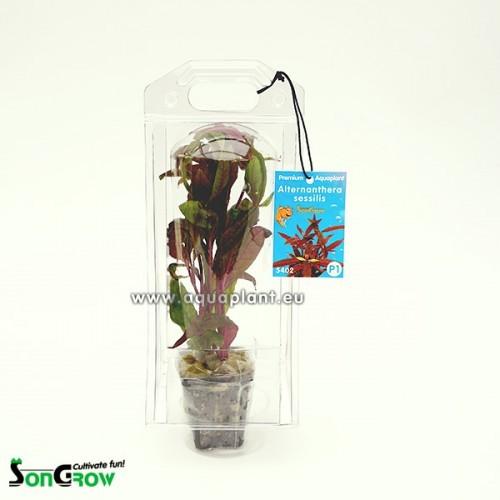 Aquaplant Alternanthera sessilis