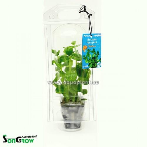 Aquaplant Bacopa lanigera