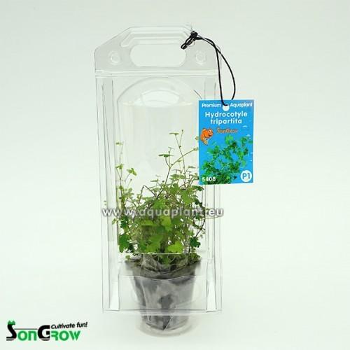 Aquaplant Hydrocotyle tripartita (sp.Jap