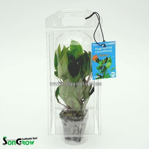 Aquaplant Hygrophila corymbosa