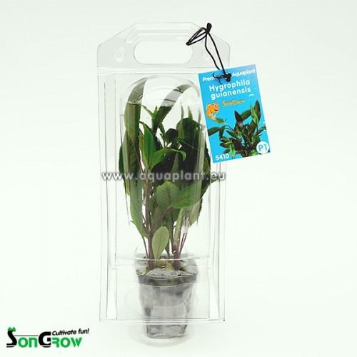 Aquaplant Hygrophila guianensis