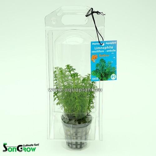 Aquaplant Limnophila sessiliflora