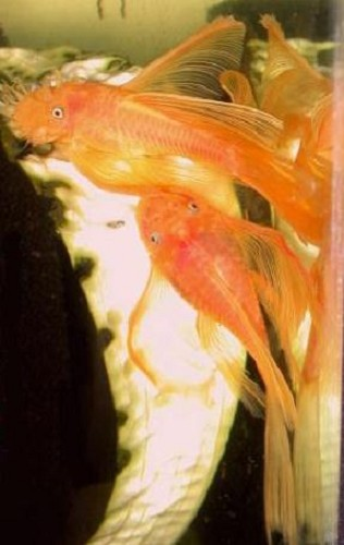 Ancistrus sp. super red longfin SM