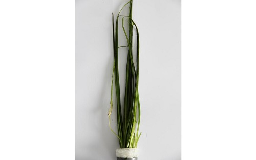 Vallisneria natans in bundels (A)
