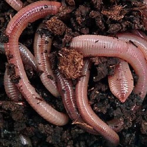 Dauwwormen in Bamibak