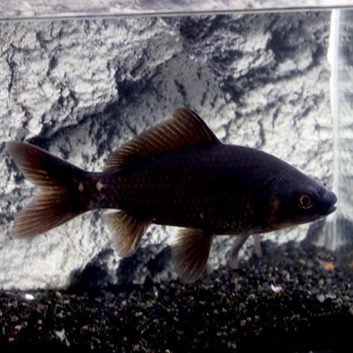 Teichfische jarathana for Teichfische schwarz