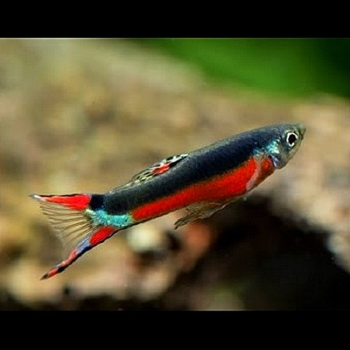 Poecilia ret.Guppy endler bleeding heart