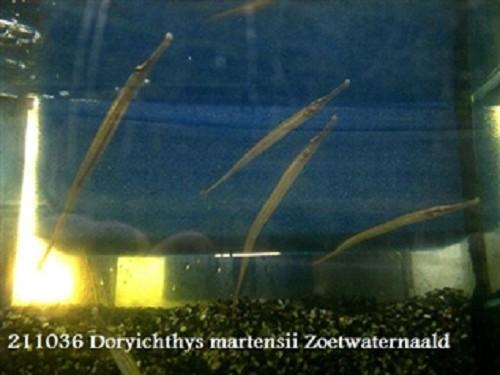 Dory. martensii  Zoetwaternaald 12-15 cm