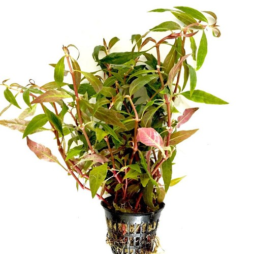 Alternanthera rosaeofolia JUMBO POT