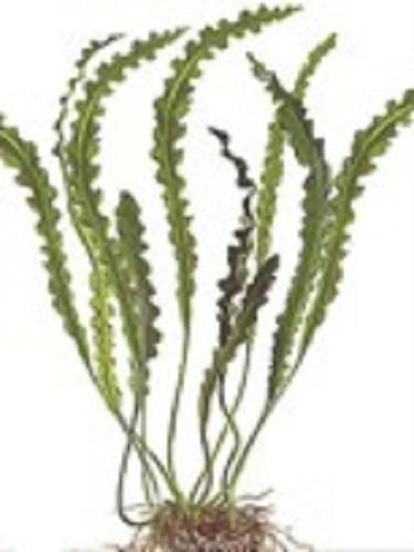 Ap.longiplumulosus knol (met blad) (H)