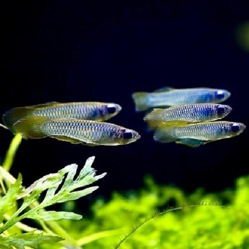 Aploch.normani   Afrikaans blauwoogje M