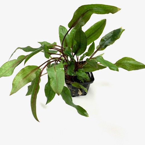 Cryptocoryne blassii in pot