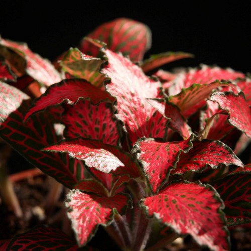 Fittonia forrest flame in pot
