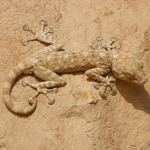 Ptyodactylus guttatus M/L