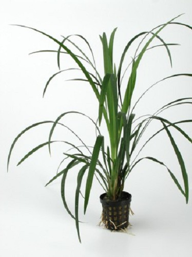 Ophiopogon gigantea in pot (E-4021)