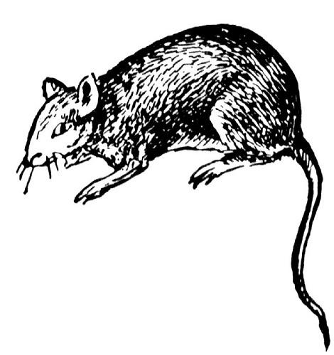 Rat XL 250-350 gram ( per 4 stuks)