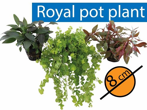 Royal  potplant 18 st.