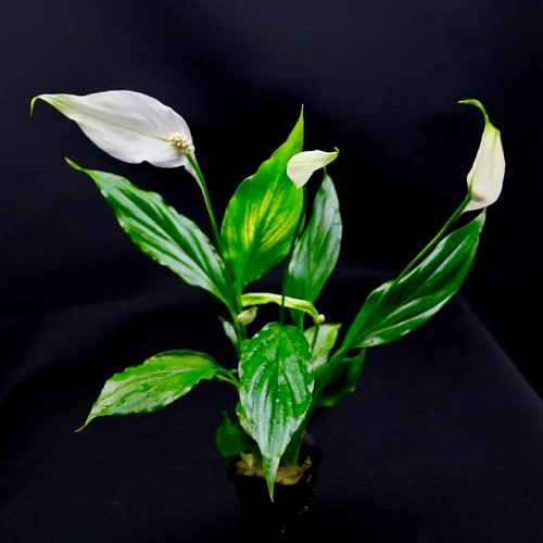 Spathiphyllum wallissi in pot (E-4041)