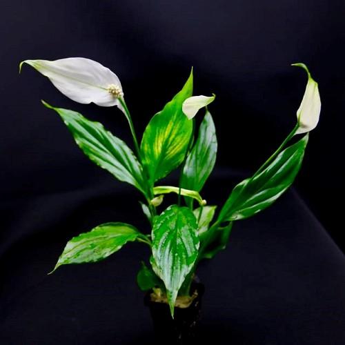 Spathiphyllum wallissi in pot
