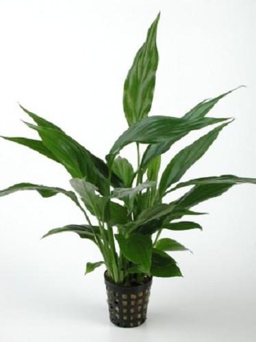 Spathiphyllum moederplant (L-1564)