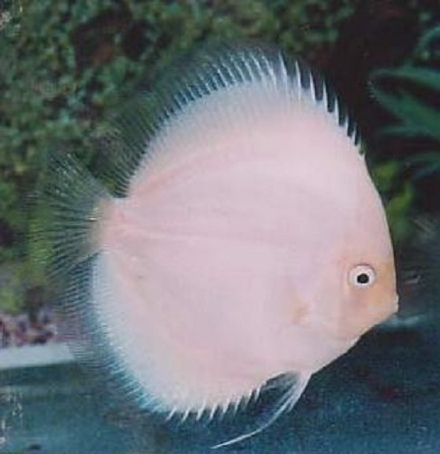 S.discus   Discus white diamond 5-6 cm