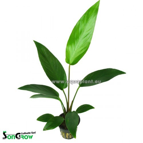 Anubias hastifolia in pot (G-765)