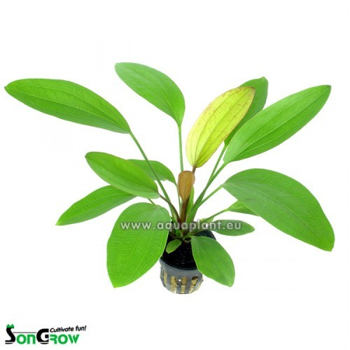 Echinodorus rose in pot (E-860)