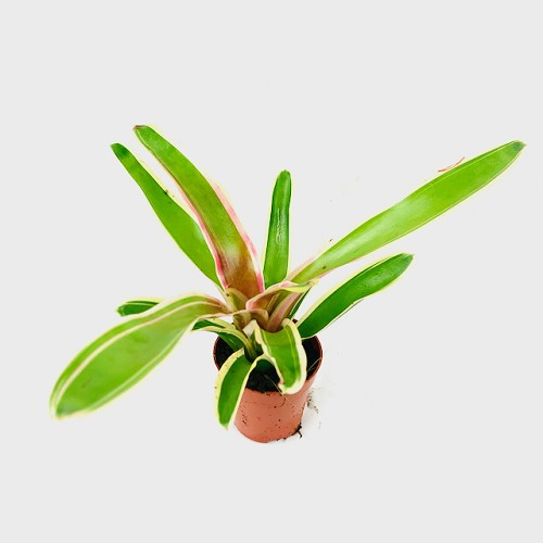 Neoregelia in pot