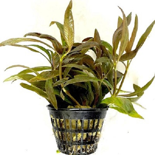 Hygrophila red-green JUMBO POT
